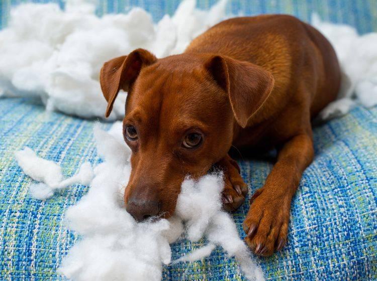 Sollten Sie Ihrem Hund mit der Zeitung einen Klaps geben, wenn er Ihr Mobiliar zerstört? Oder ist diese Erziehungsregel Unsinn? – Shutterstock / holbox