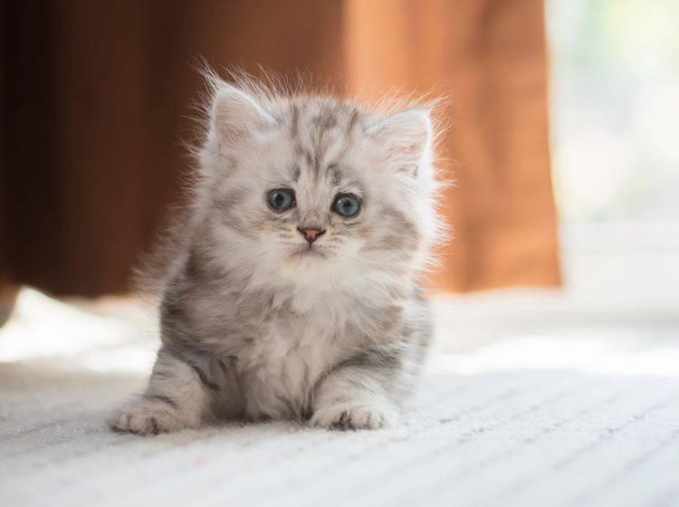 """""""Hicks! Nanu, was war denn das?"""" Vor allem Katzenbabys bekommen häufiger Schluckauf – Shutterstock / ANUCHA PONGPATIMETH"""