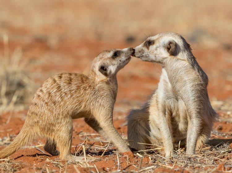 Guten Freunden gibt man ein Küsschen... finden auch diese süßen Erdmännchen. – Bild: Shutterstock / Luca Nichetti