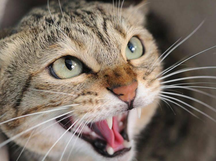 Statusaggressionen bei Katzen machen sich durch heftigen Widerstand bemerkbar - Bild: Shutterstock / Norman Chan