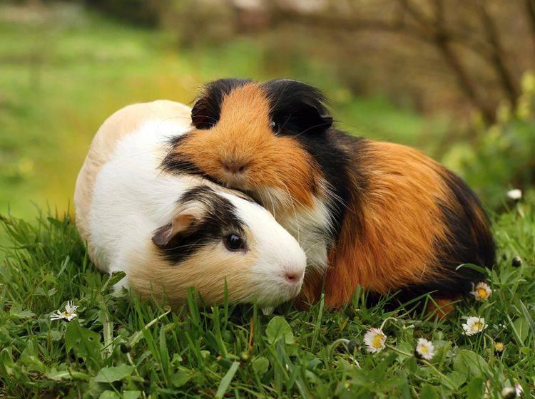 Meerschweinchen brauchen Gesellschaft. Wer sich eins wünscht, bekommt also meistens gleich zwei – Bild: Shutterstock / Miroslav Hlavko
