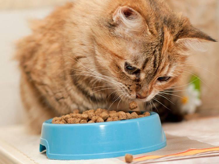 Stiftung Warentest hat Trockenfutter für Katzenfutter untersucht - Bild: Shutterstock / Nataliia Dvukhimenna