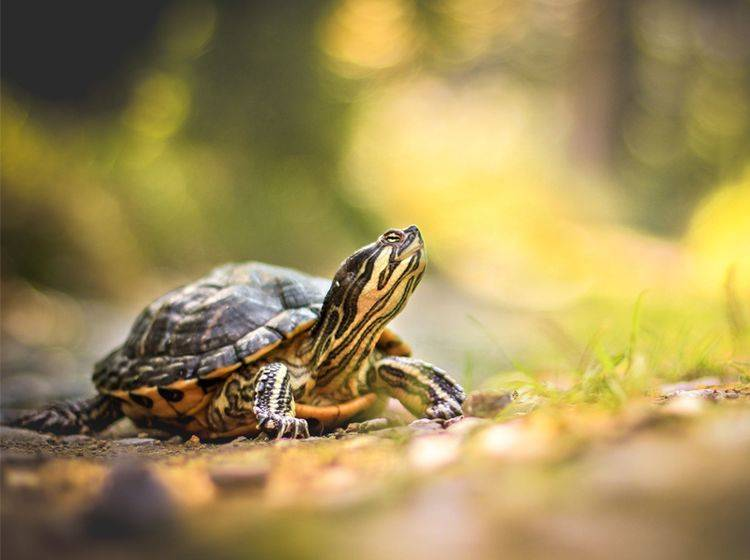 Wie hält man Schildkröten artgerecht? - Bild: Shutterstock / Nicinka Studio