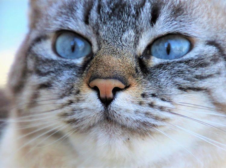 Katzengesicht in Nahaufnahme mit Fokus auf die Nase