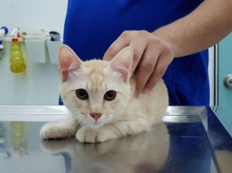 Die Kastration gilt bei Katzen und Katern als Routineeingriff – Wan Fahmy Redzuan / Shutterstock
