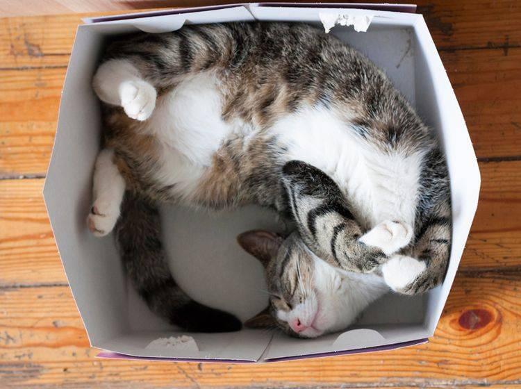 Im Karton schlafen? Kein Problem für Katzen! - Bild: Shutterstock / klevers