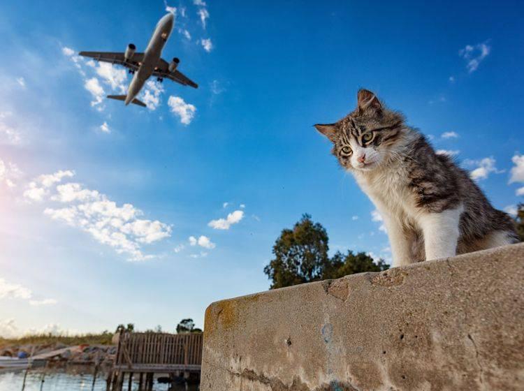 Sie wollen eine Katze im Flugzeug mitnehmen? Die Voraussetzungen sind bei jeder Fluglinie unterschiedlich - Bild: Shutterstock / Stefano Garau