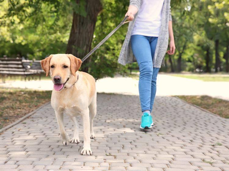 Was tun, wenn der Hund ständig an der Leine zieht? - Bild: Shutterstock / Africa Studio