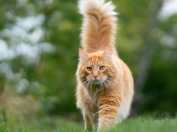rote Katze läuft mit erhobenem Schwanz über eine Wiese