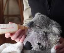 Wunderschöne Compilation von Koalababy Imogen – Bild: YouTube / Symbio Wildlife Park