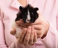Vorsichtiges Abtasten hilft dabei, Meerschweinchenkrankheiten wie Abszesse frühzeitig zu entdecken – Shutterstock / Mendelex