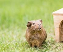 Können Meerschweinchen im Winter draußen bleiben? – Shutterstock / Jarry