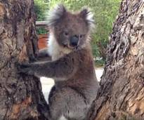 Süßer Koala will lieber kuscheln statt klettern - Bild: YouTube / Koalafication