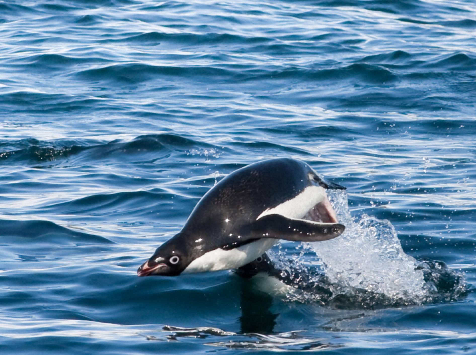 Tauchgang eingeleitet! Adeliepinguin beim Jagen in der Antarktis