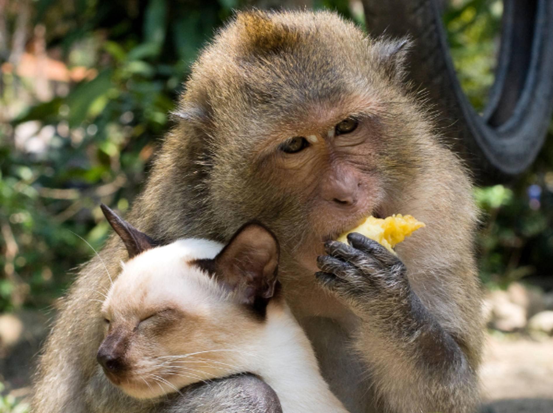 Tierisches Paar: Pavian und Siamkatze beim Schmusen