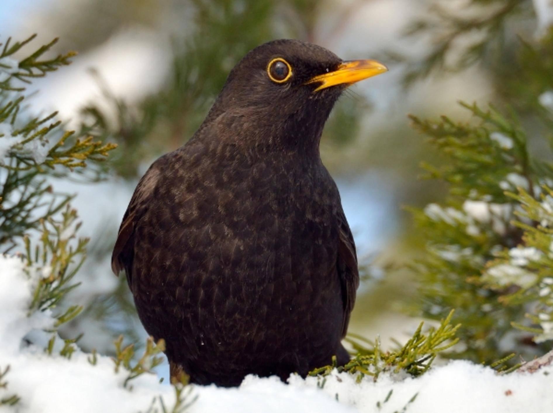Wegen Lärm: Amseln und andere Vögel singen in Städten lauter