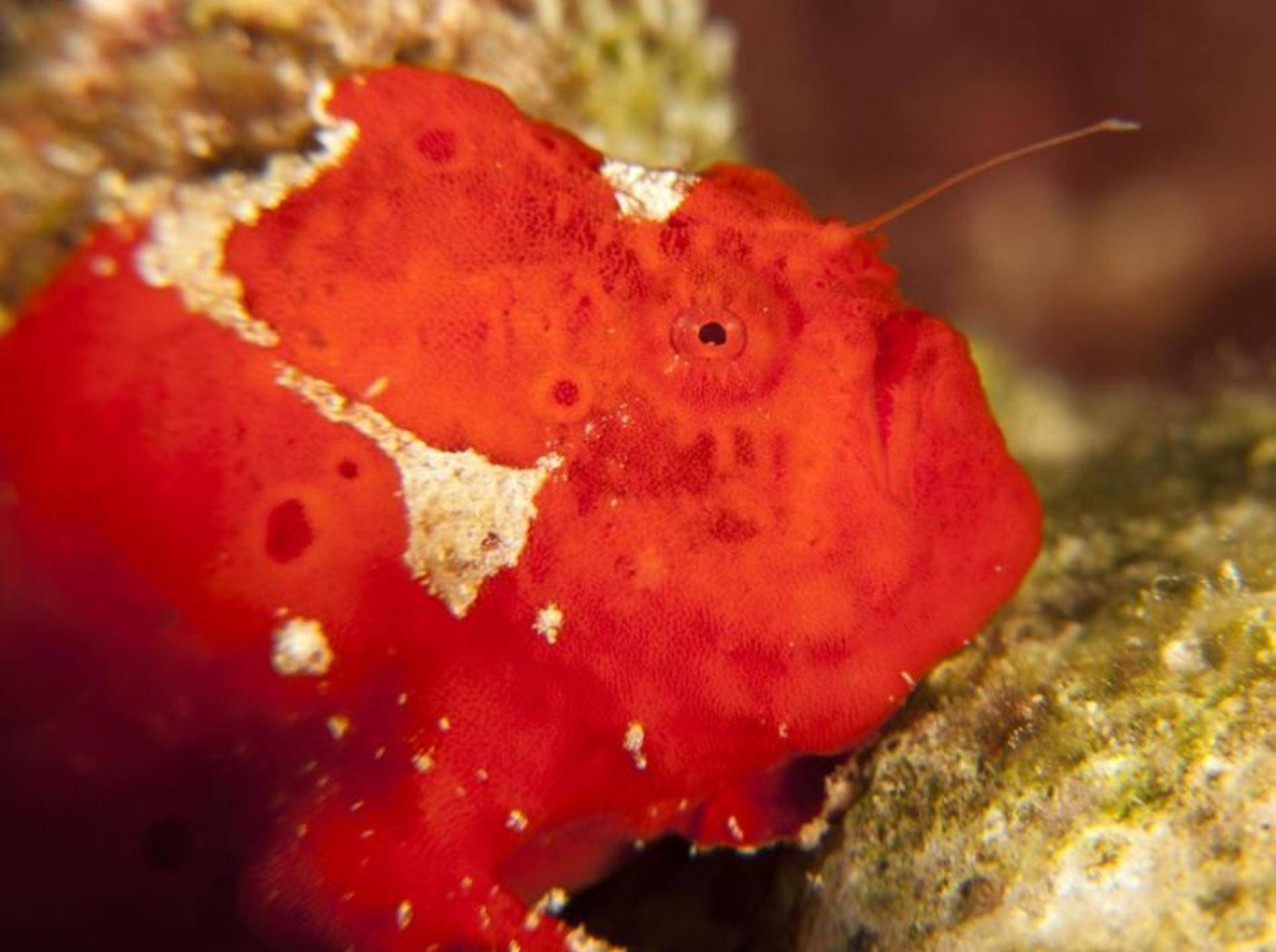 Roter Anglerfisch