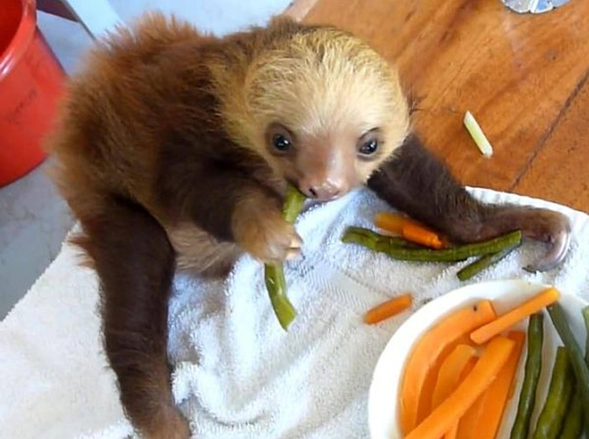 Niedliches Babyfaultier mag Karotten und Bohnen