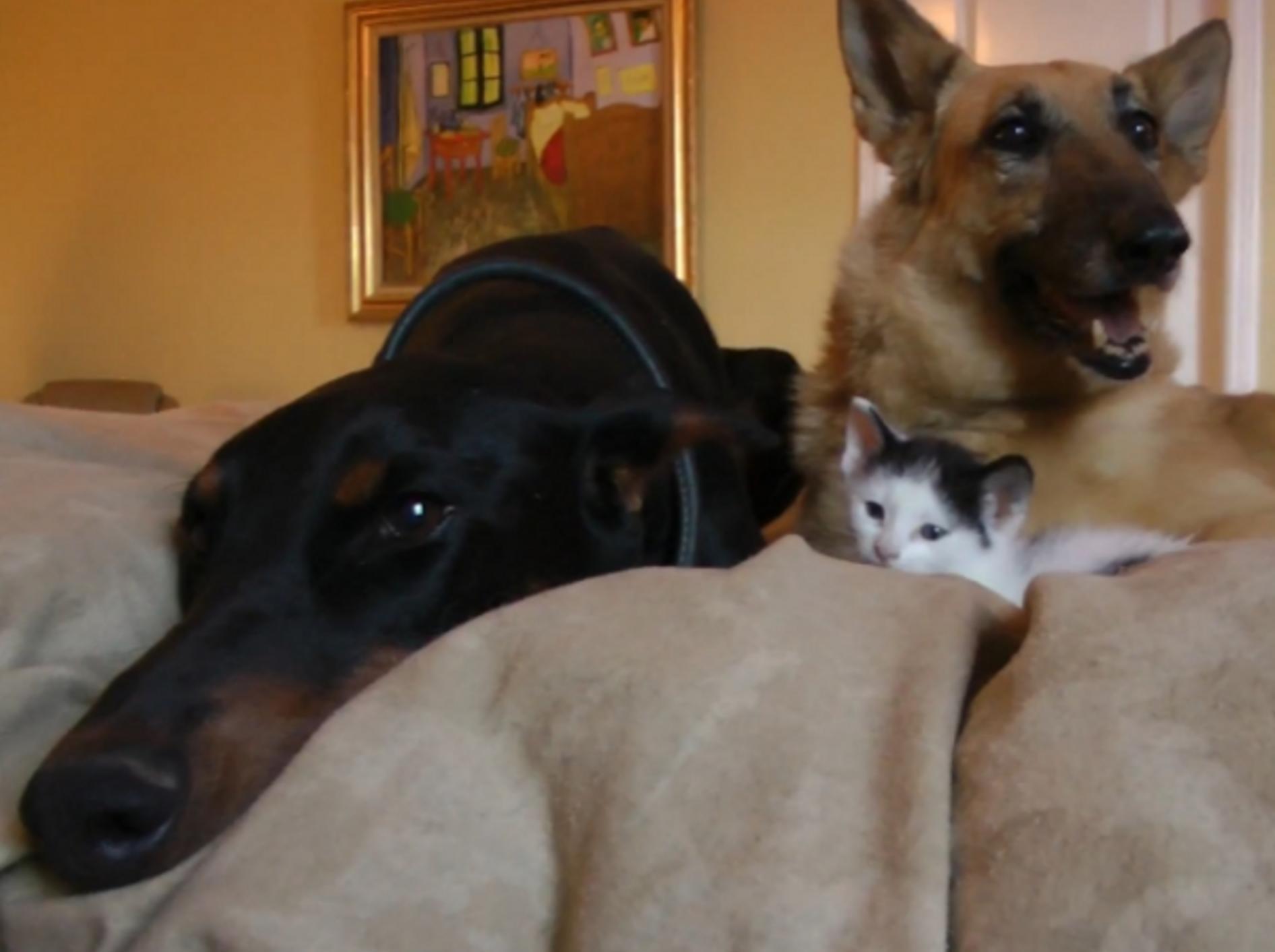 Kätzchen Pancake und ihre Hundebrüder: Ein starkes Team