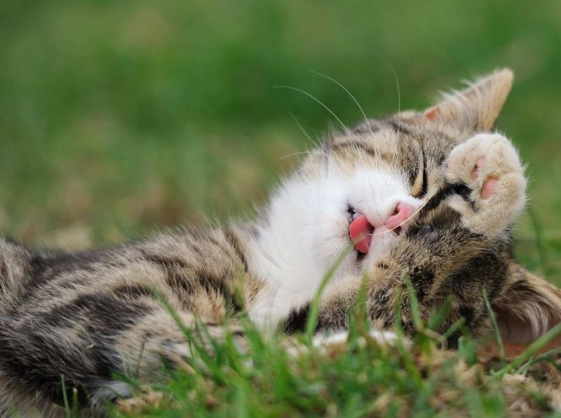 Junge Katze schläft auf der Wiese