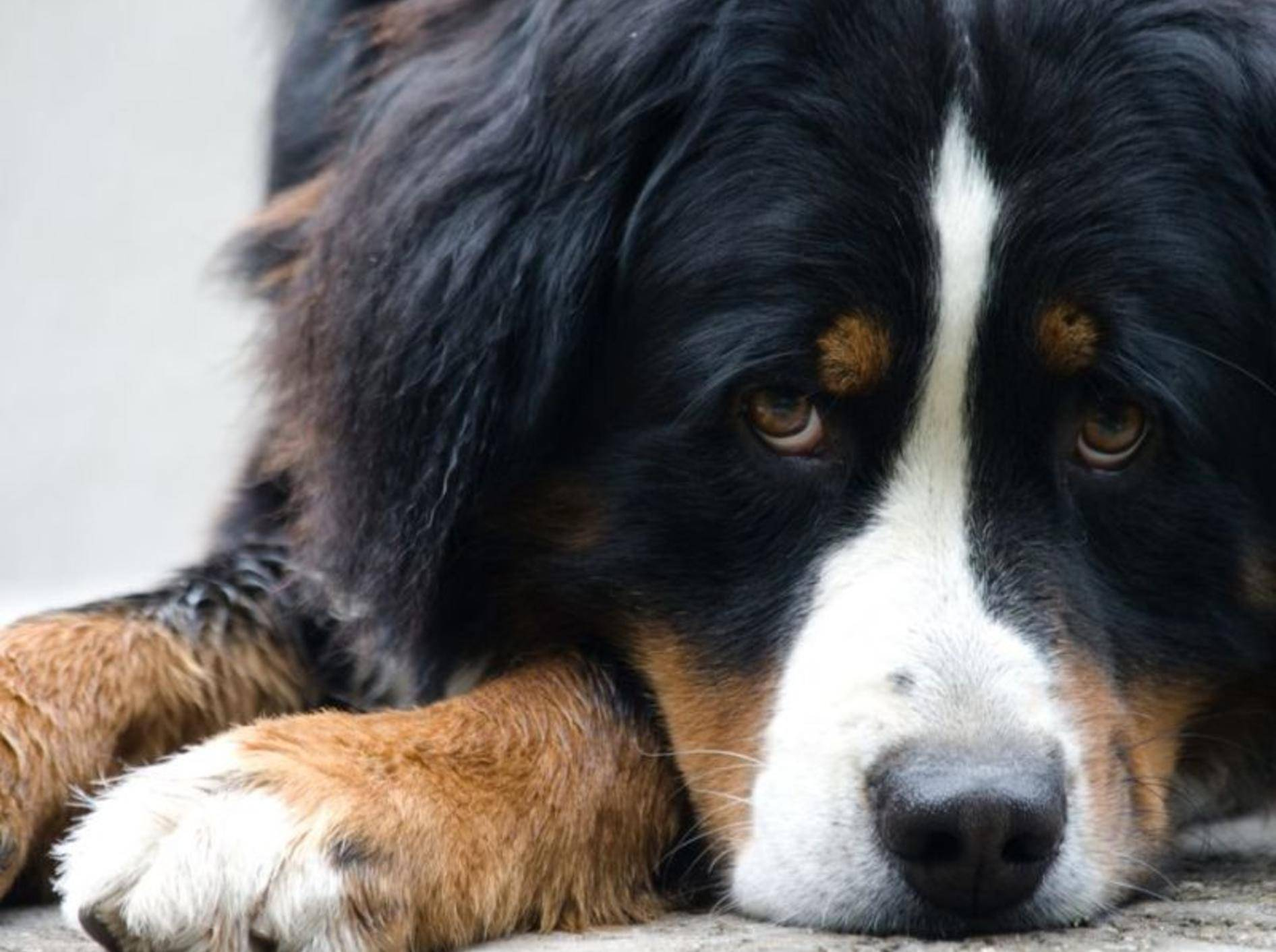 Ihren Hund einschläfern lassen – bei der Entscheidung kann ein Tierarzt womöglich helfen – Shutterstock / Pavel Pustina