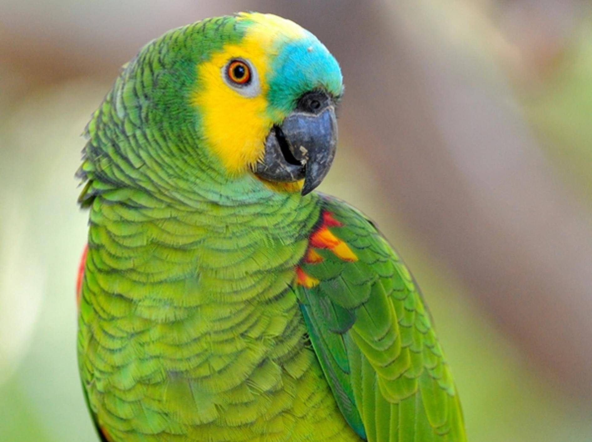 Paraguay: Tierschützer befreien Blaustirnamazonen