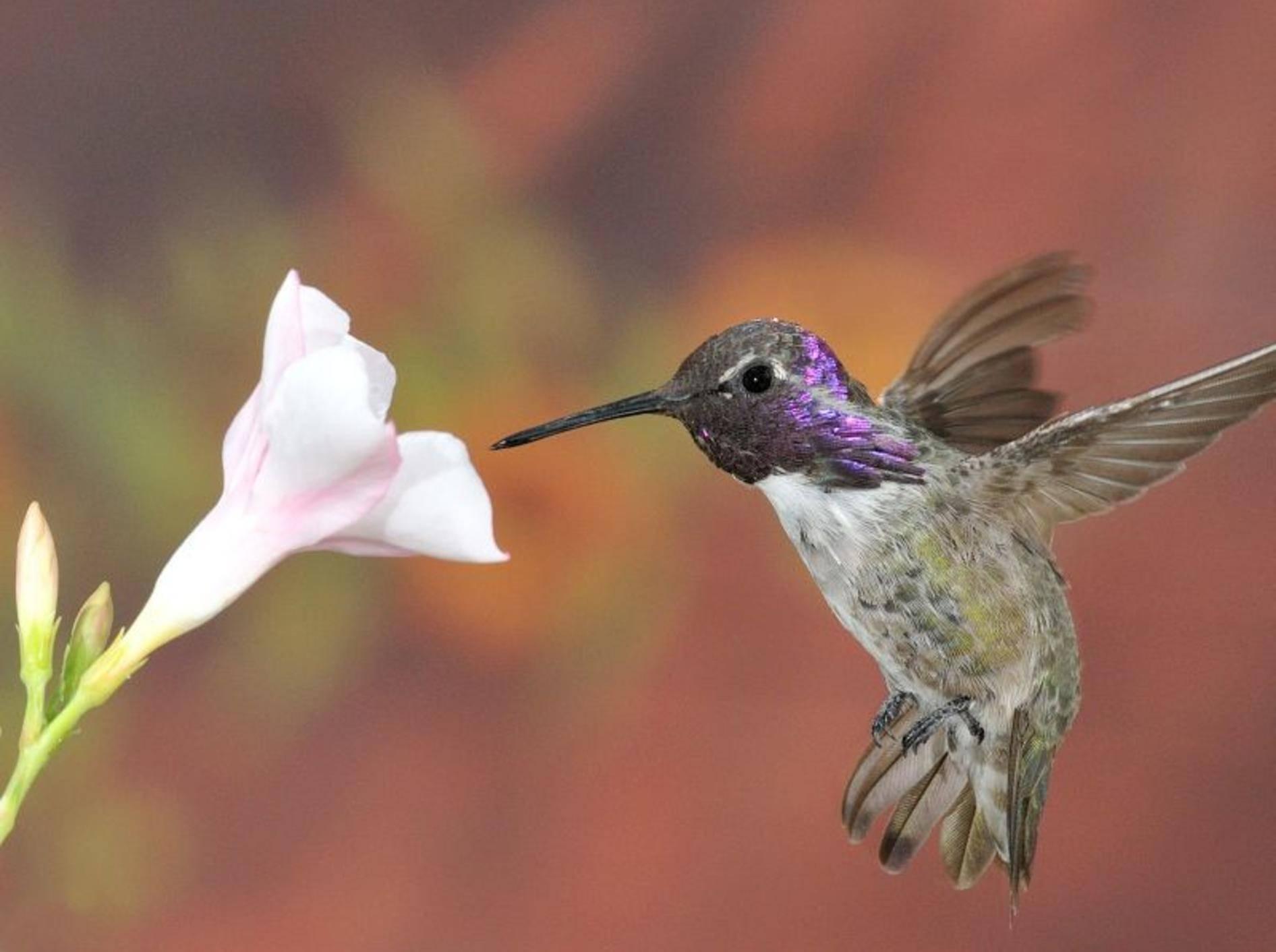 Blume-Kolibri