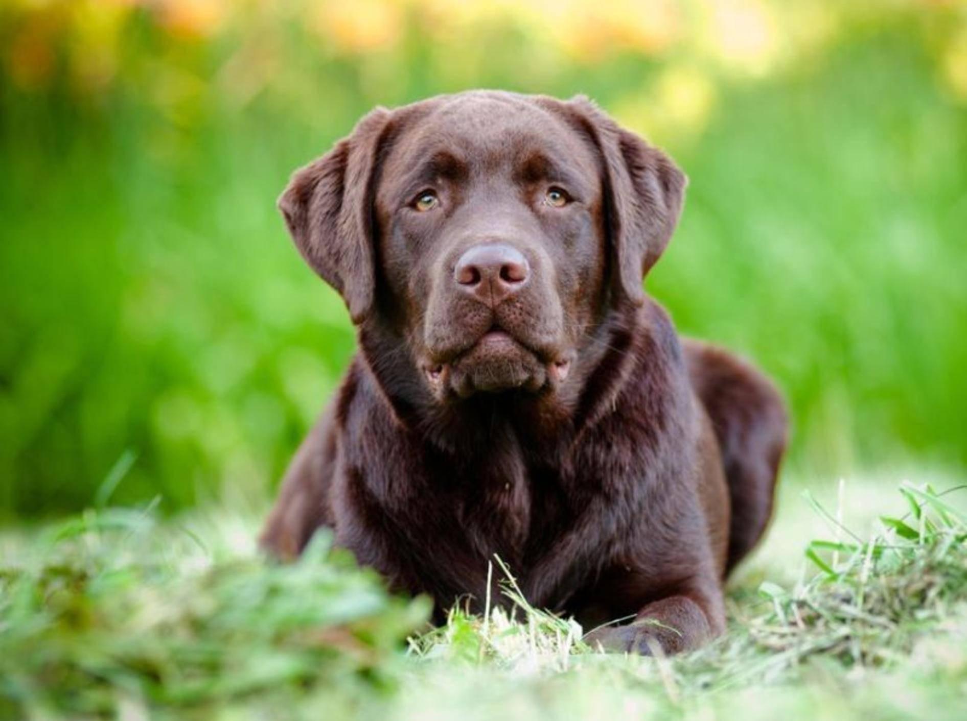 Labrador Hund auf der Wiese