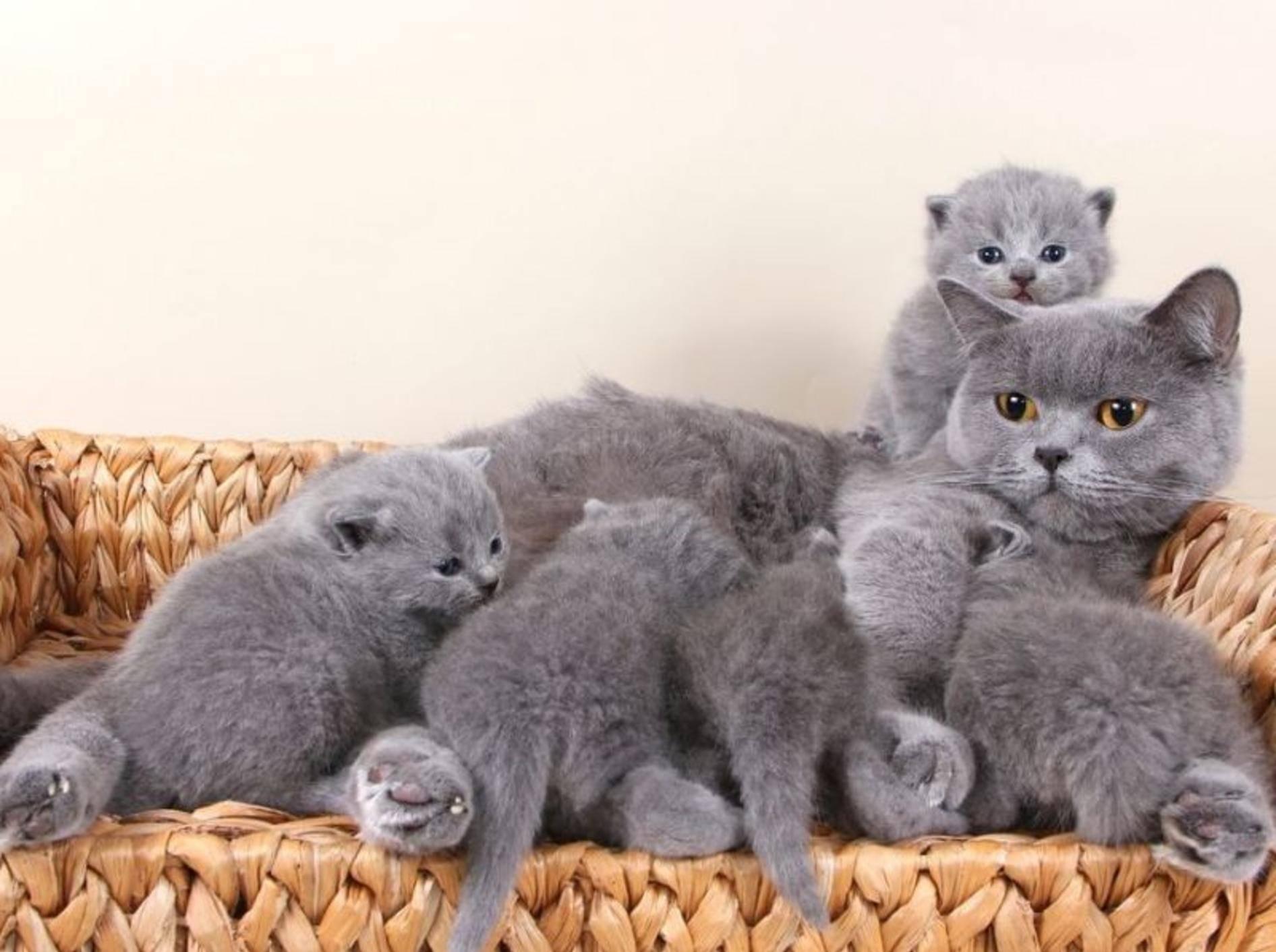 Familienbande: Britisch Kurzhaar Katze mit Nachwuchs