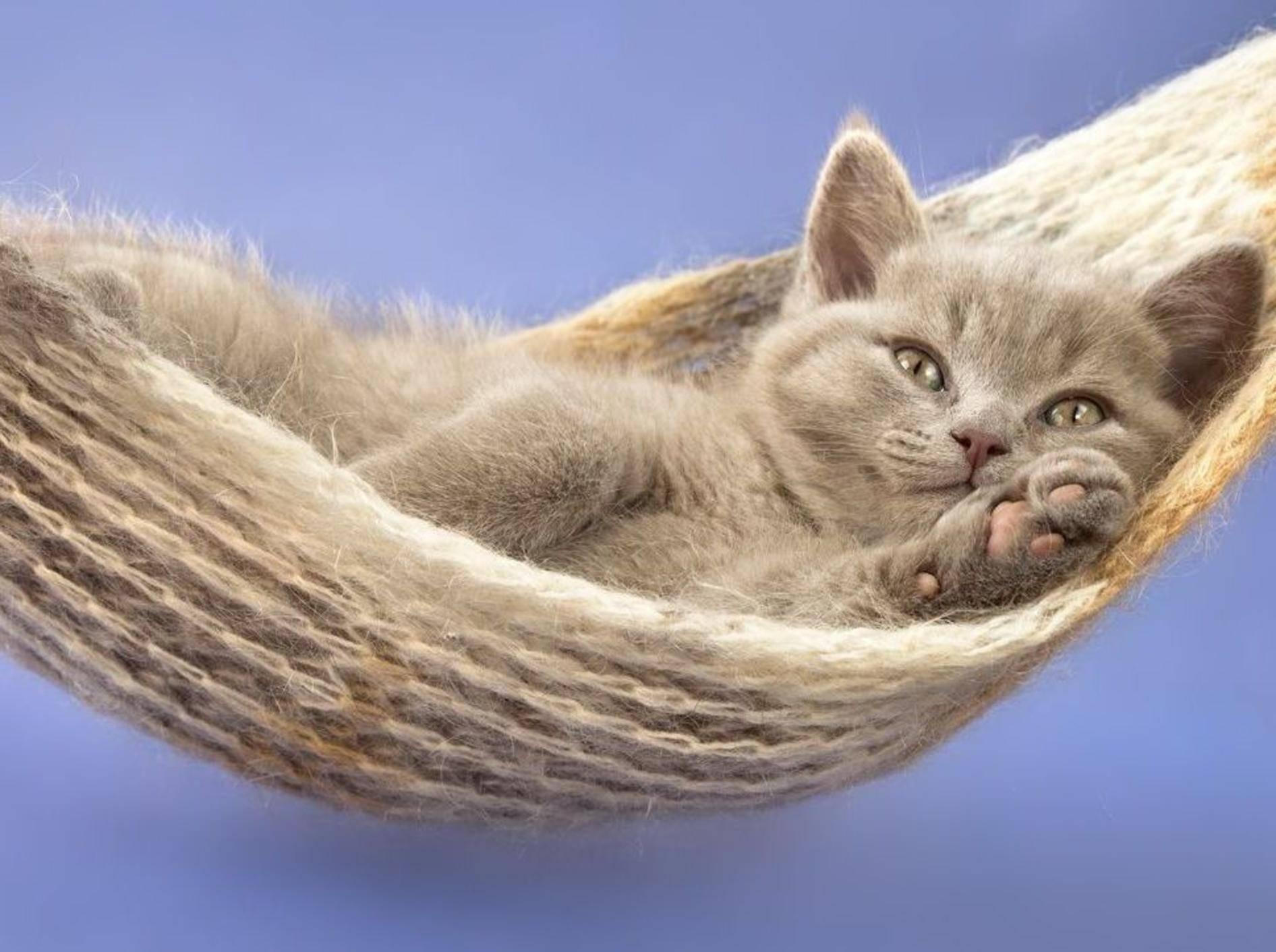 Britisch Kurzhaar Katzenbaby in der Hängematte