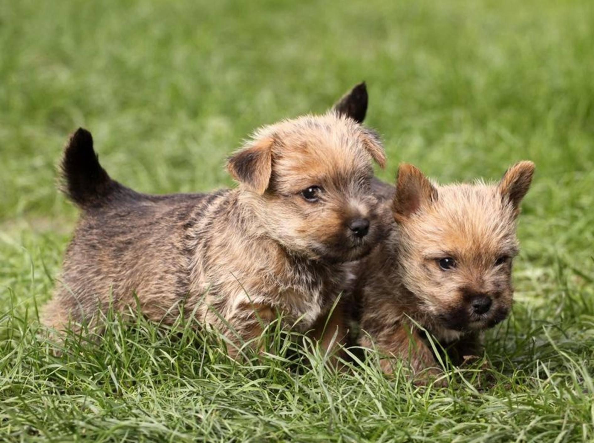 Cairn-Terrier-Babys entdecken schöne neue Welt