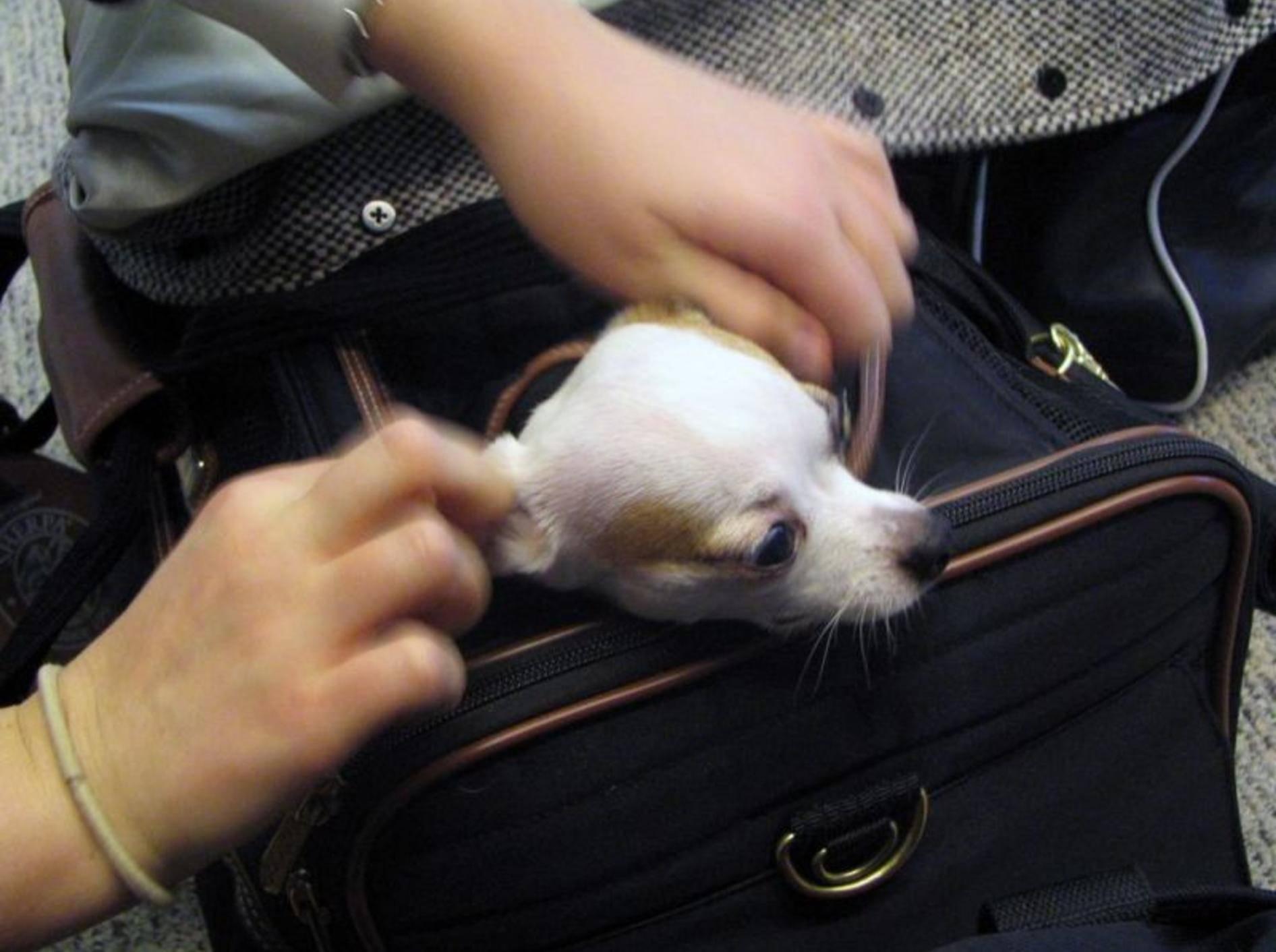 Chihuahua Hund im Koffer