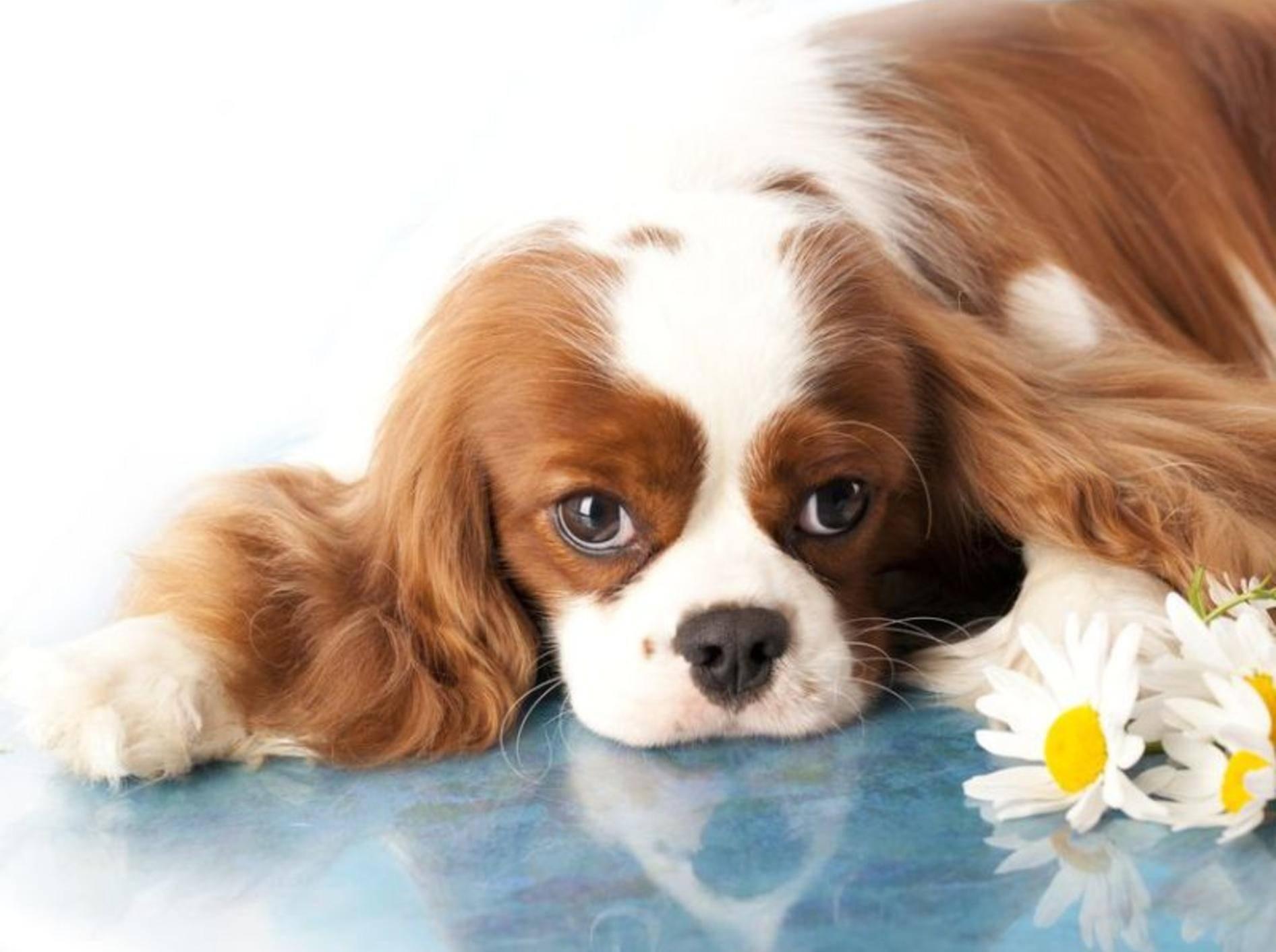 Cocker Spaniel Hund liegt neben Blumen