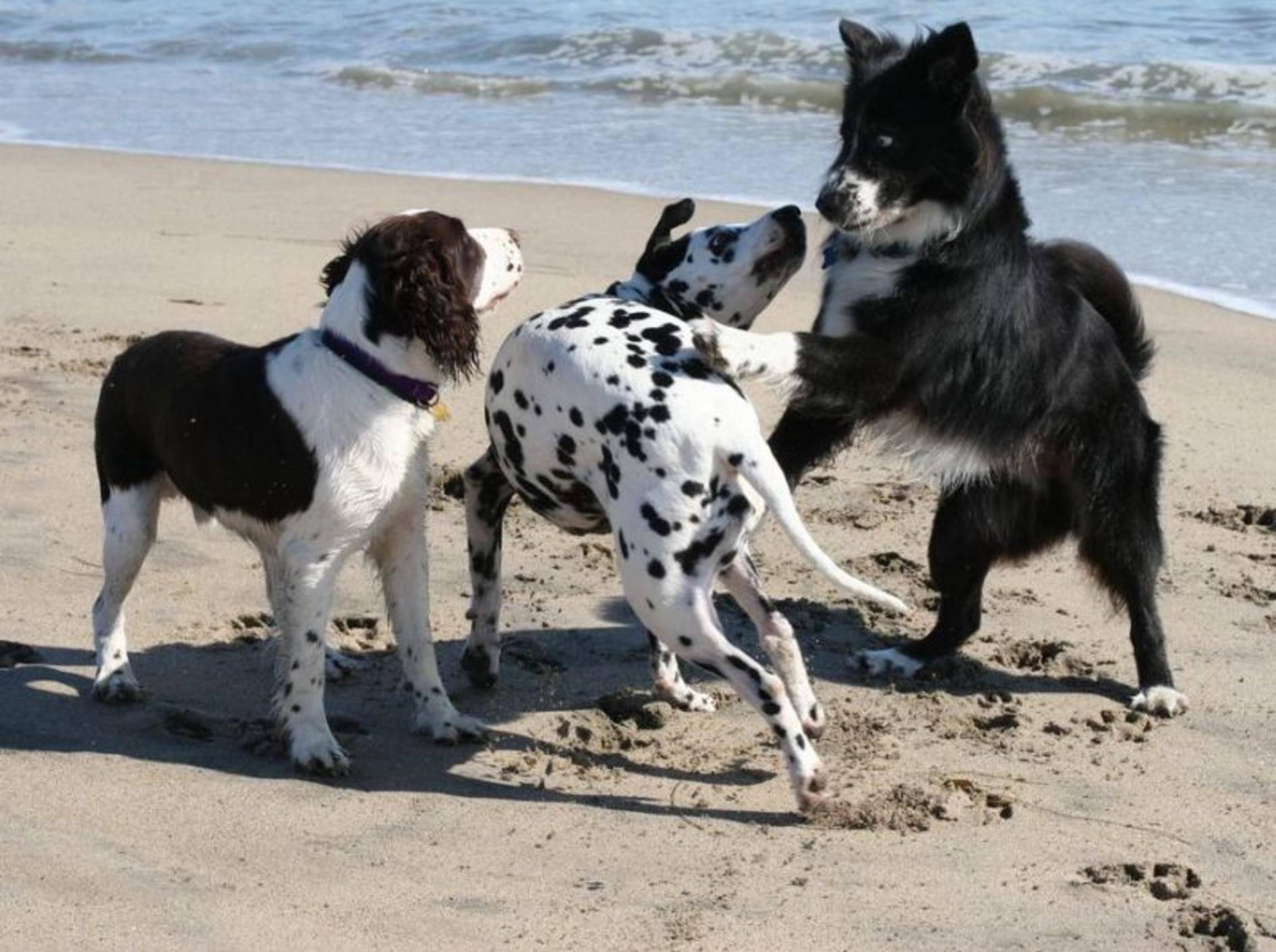 Beim spielen alle gleich: Rassehund und Mischlinge am Strand