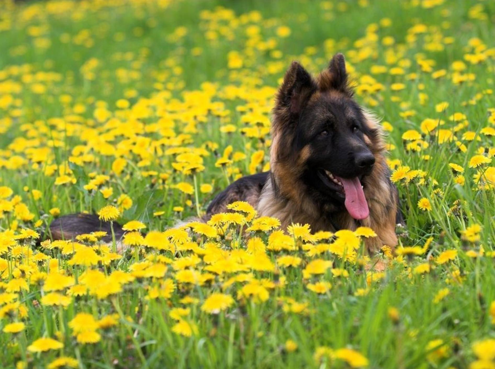 Deutscher Schäferhund auf der Wiese