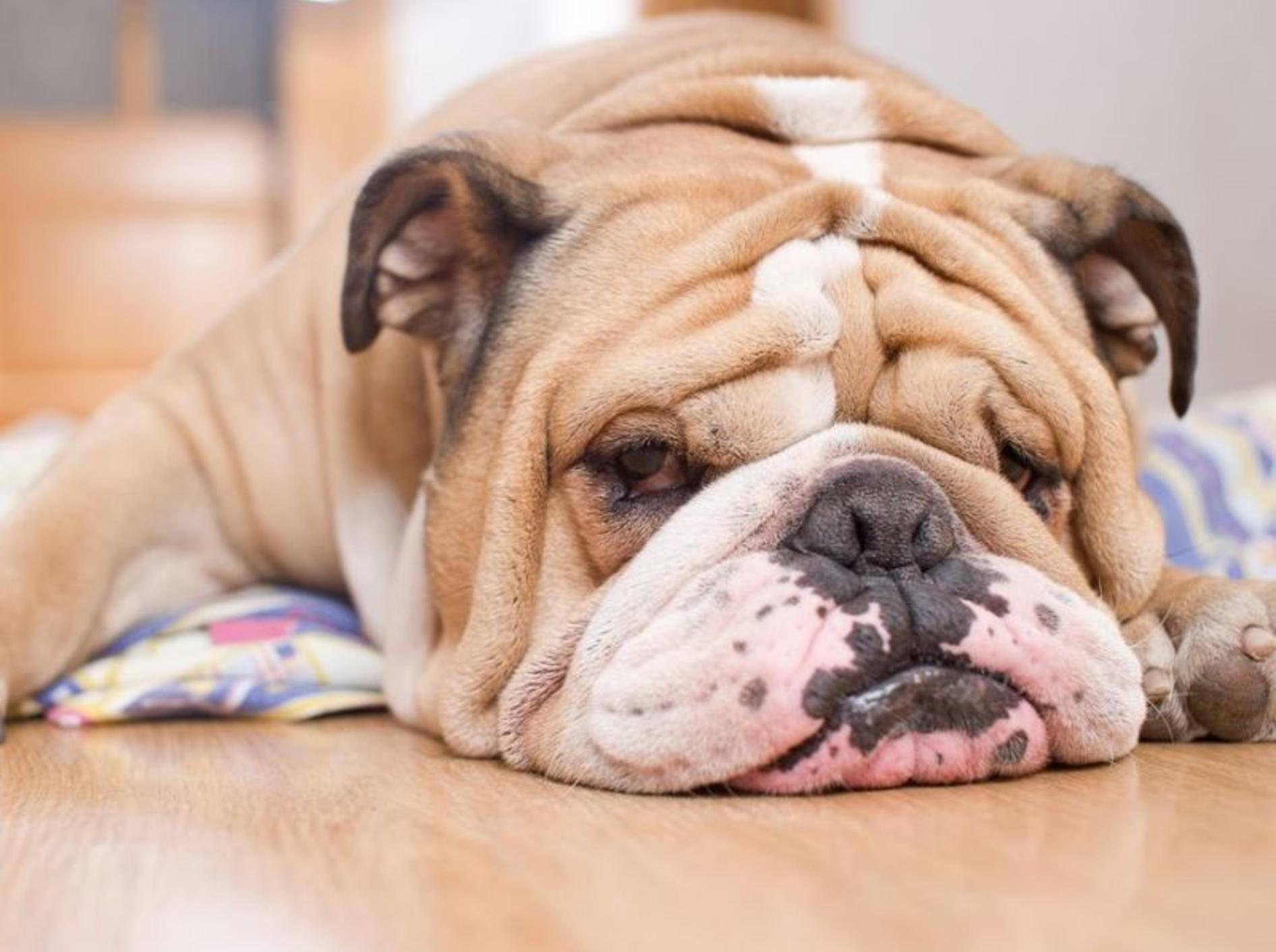 Englische Bulldoggen neigen zu Übergewicht und leiden stark unter den Folgen – Bild: Shutterstock / Katsai Tatiana