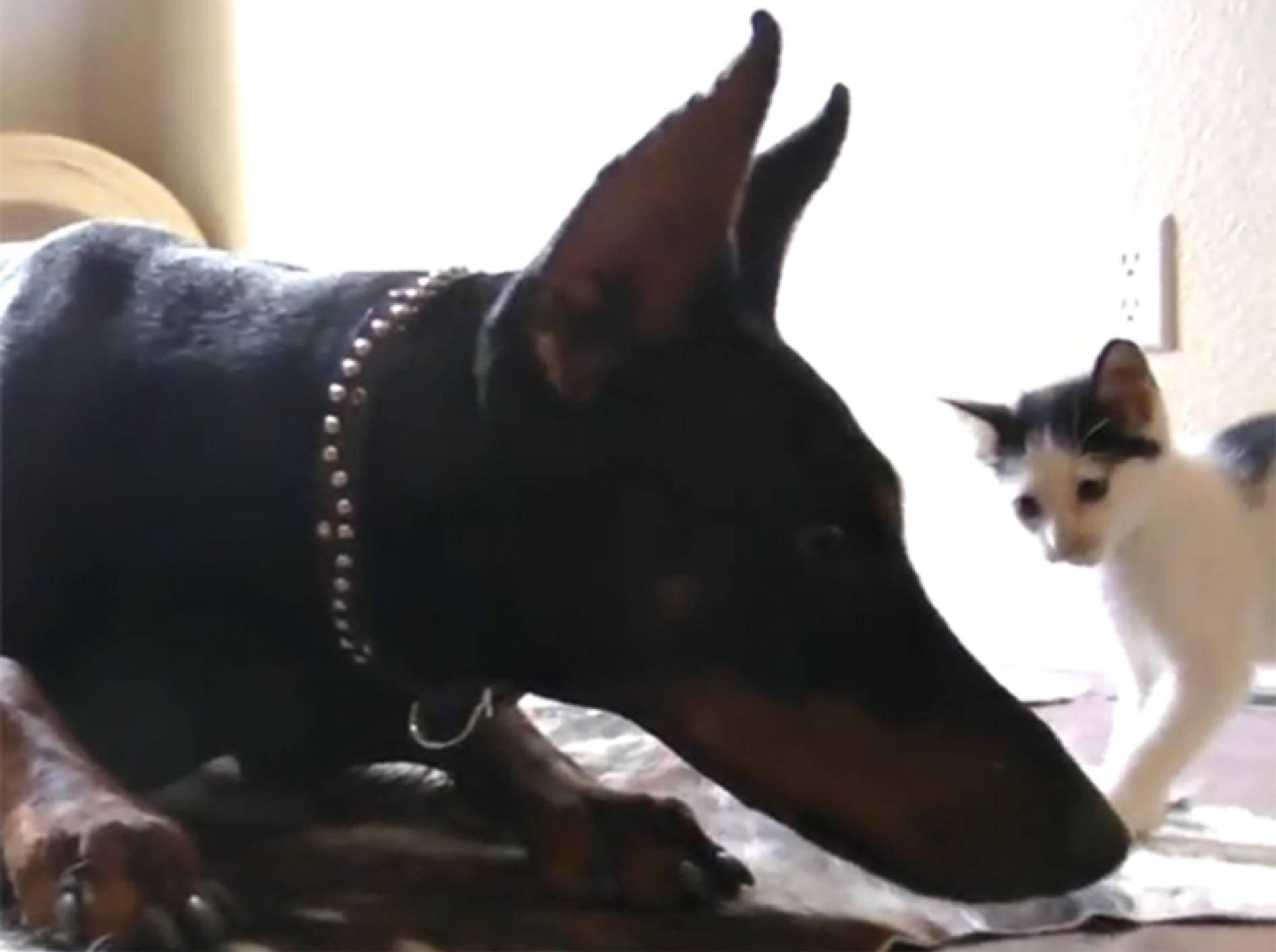 Kätzchen und Dobermann: Ungleiche Spielgefährten
