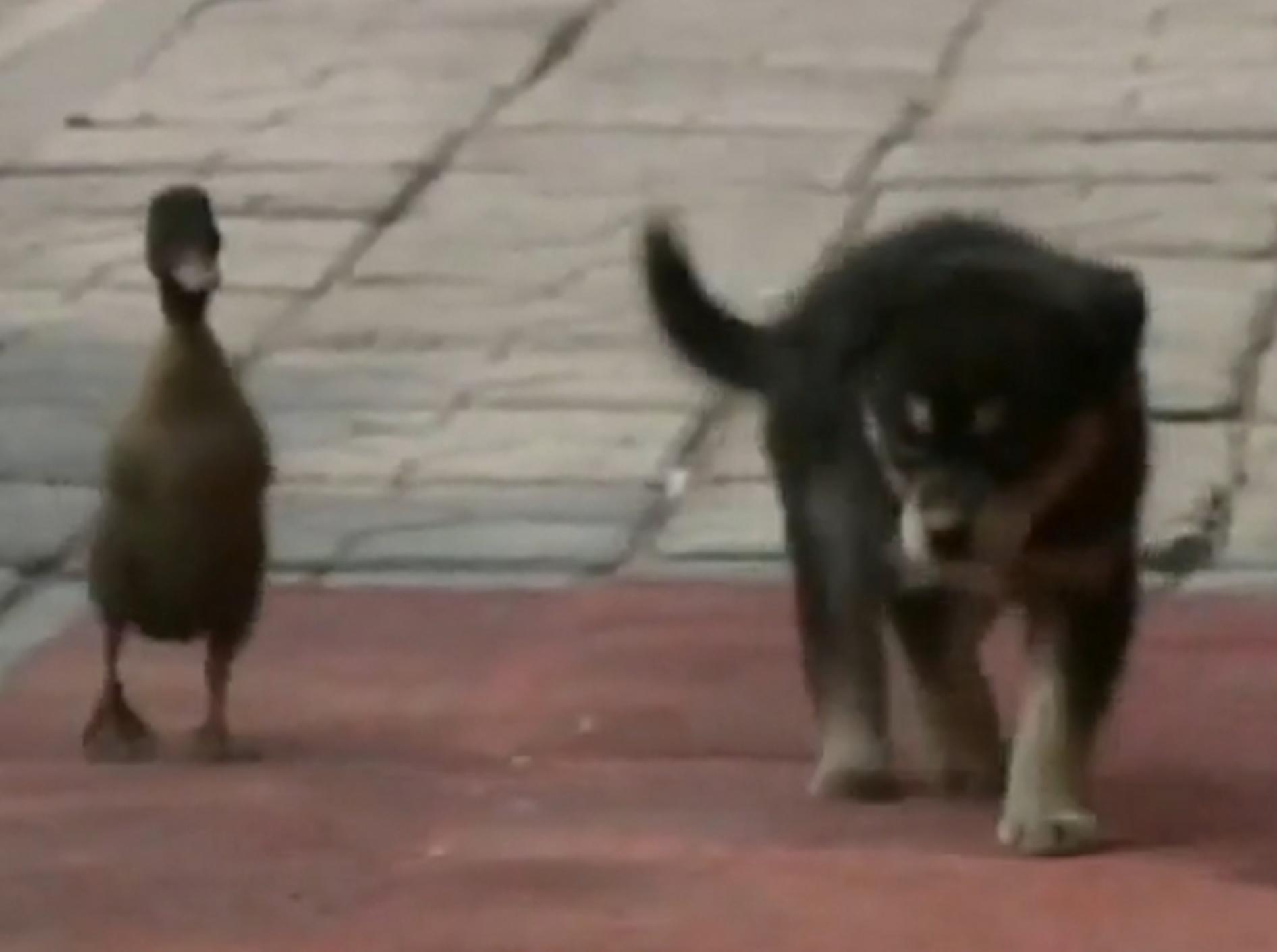 Kleine Ente und süßer Hundewelpe watscheln gemeinsam durch die Stadt