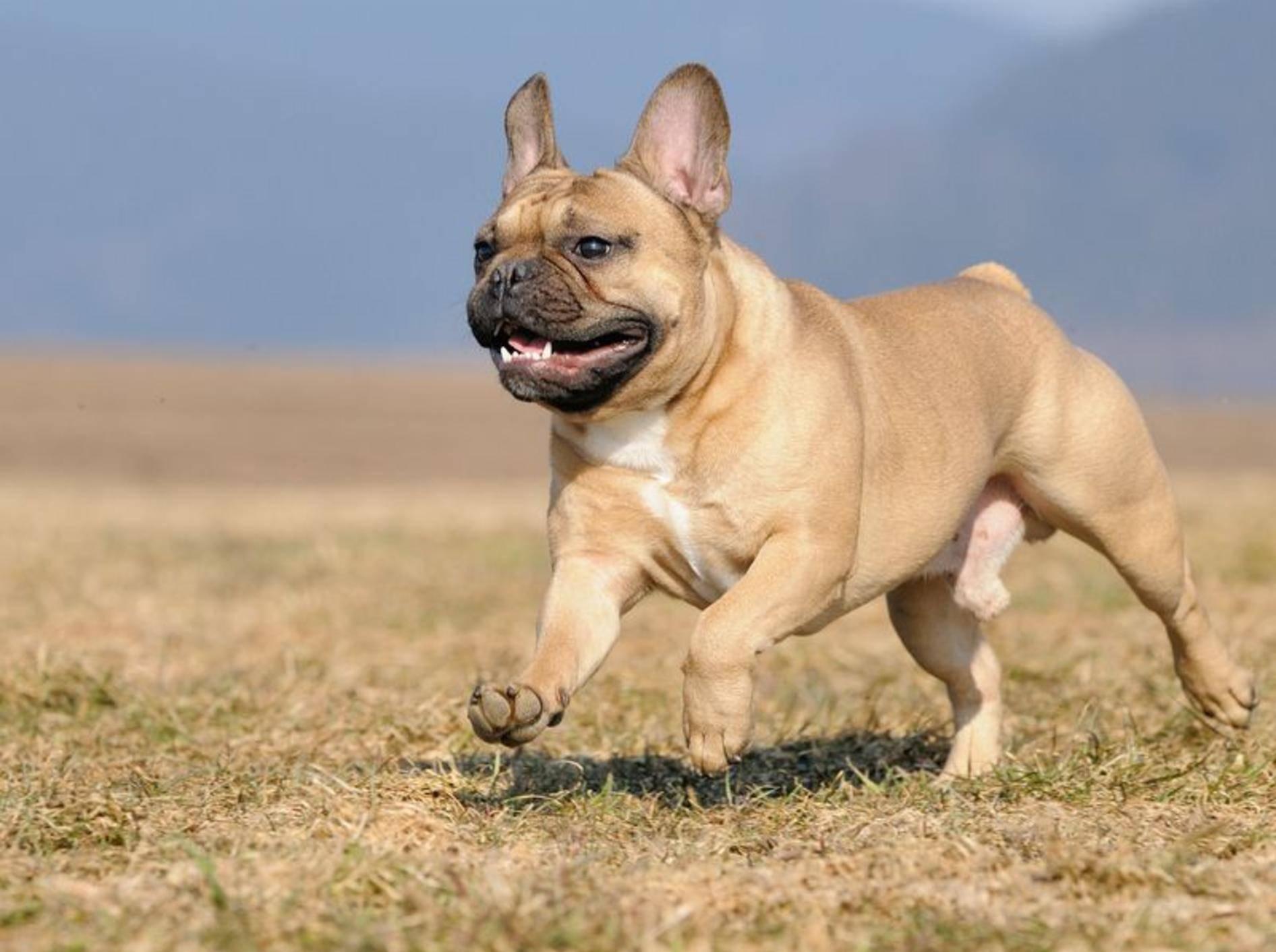 Französischer Bulldoggen Hund rennt über die Wiese