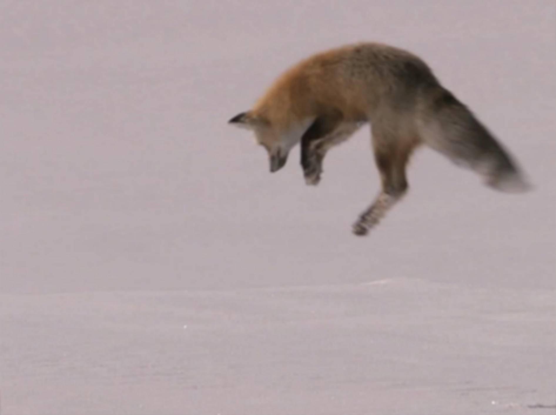 Faszinierender Schneetaucher: Fuchs auf der Jagd nach 2013?