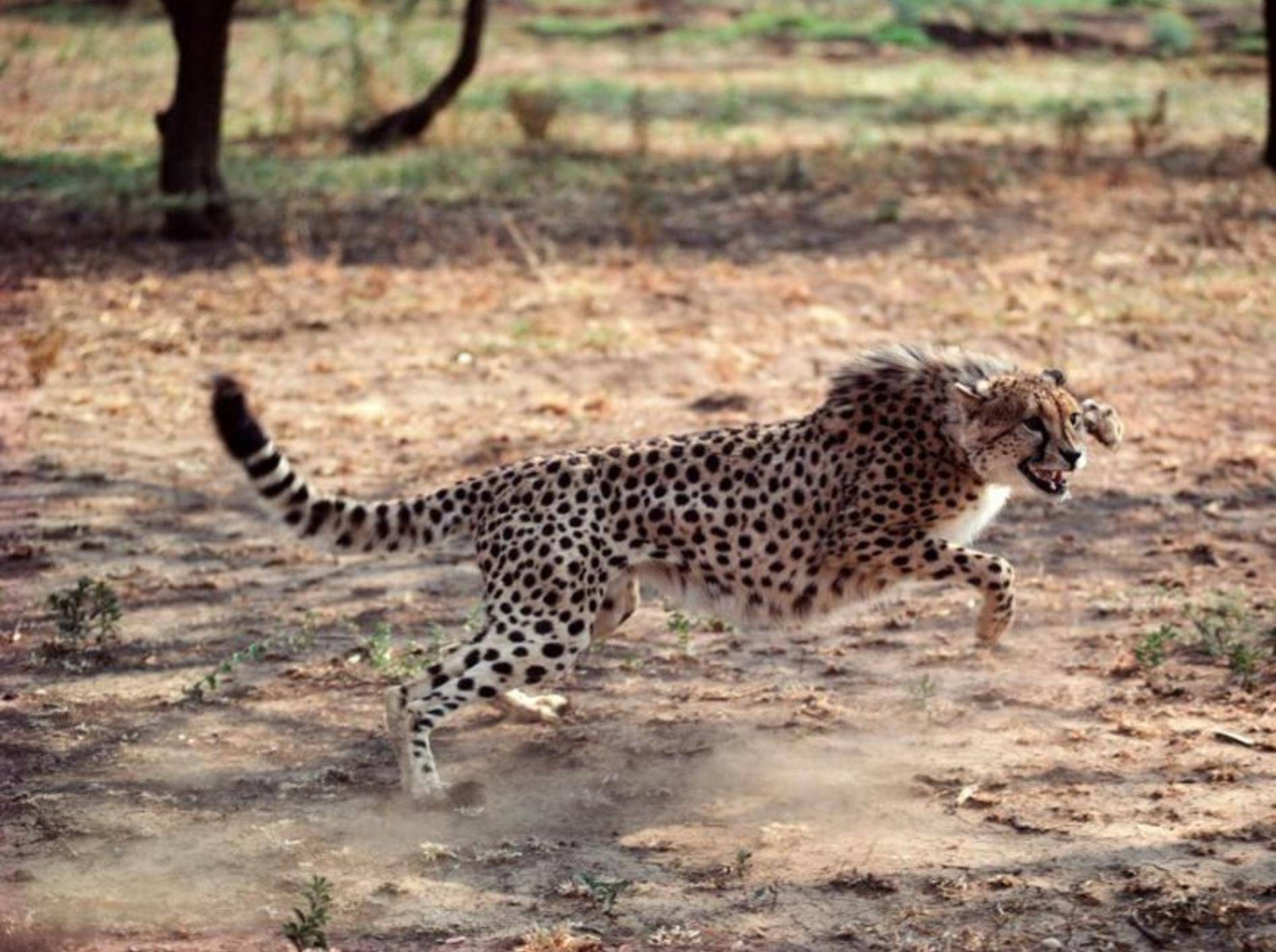 Gepard rennt