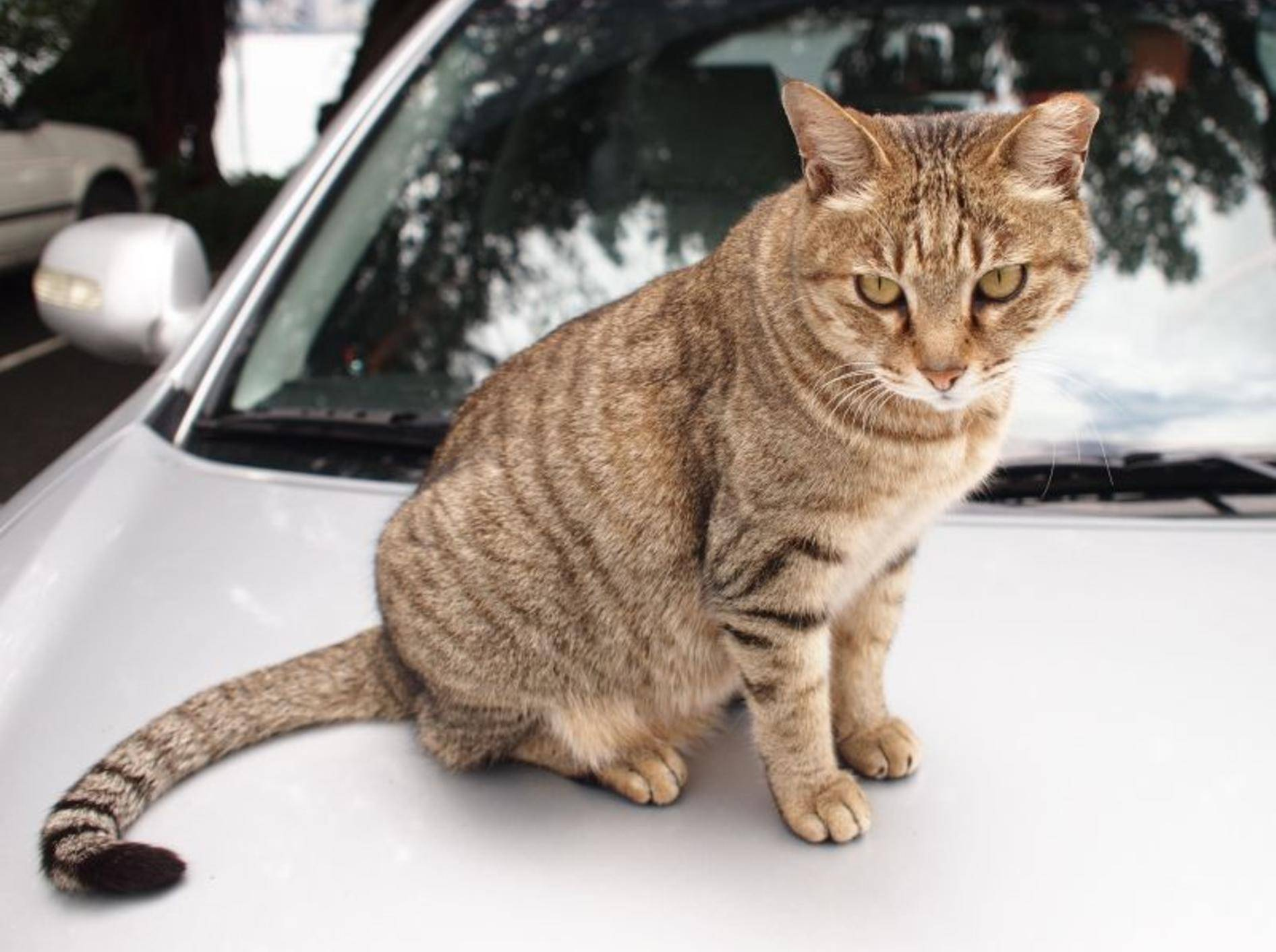 Getigerte Katze auf dem Auto