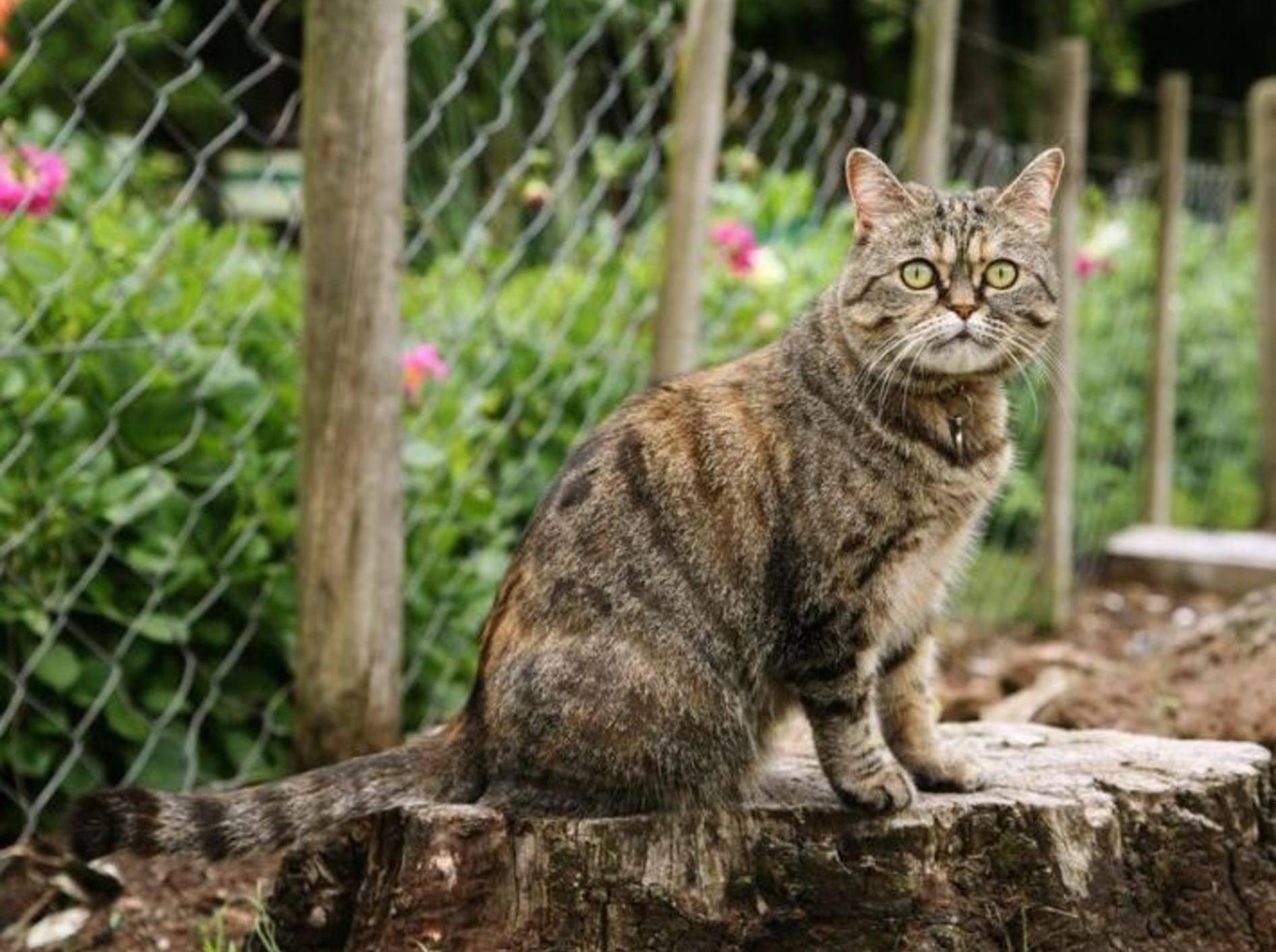 Getigerte Katze im Garten