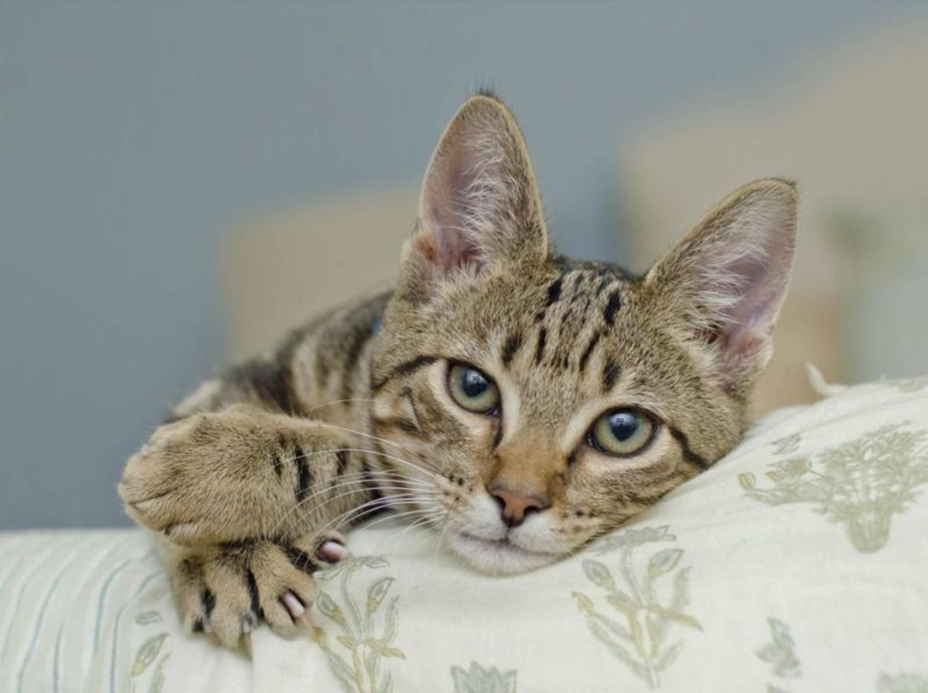 Getigerte Katze mit Krallen