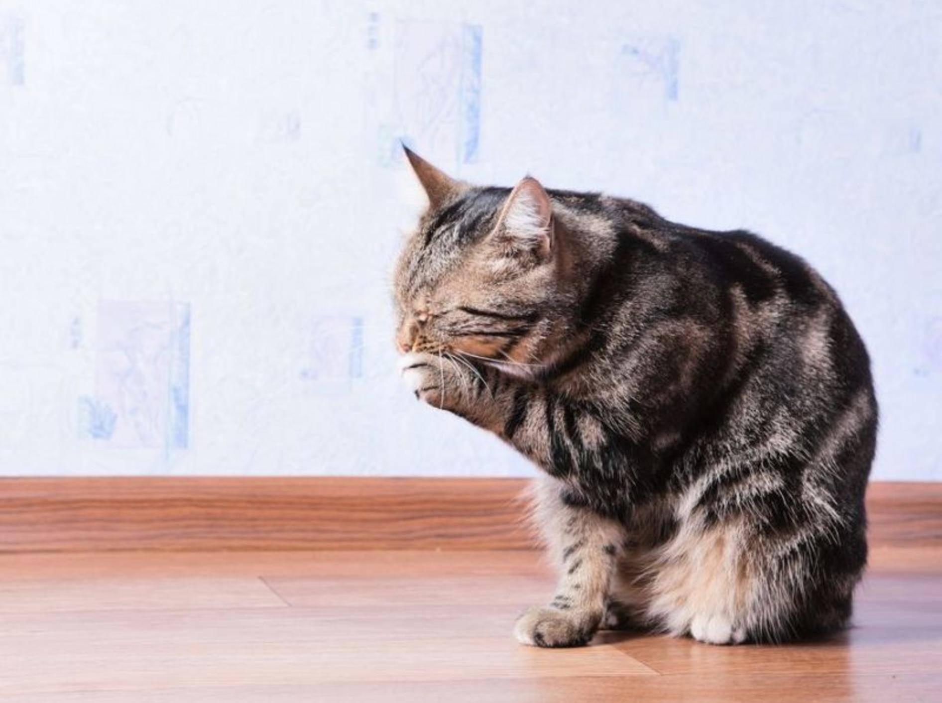Bei unseren Stubentigern fällt die Katzenwäsche gründlicher aus als bei uns Menschen – Bild: Shutterstock / REDSTARSTUDIO