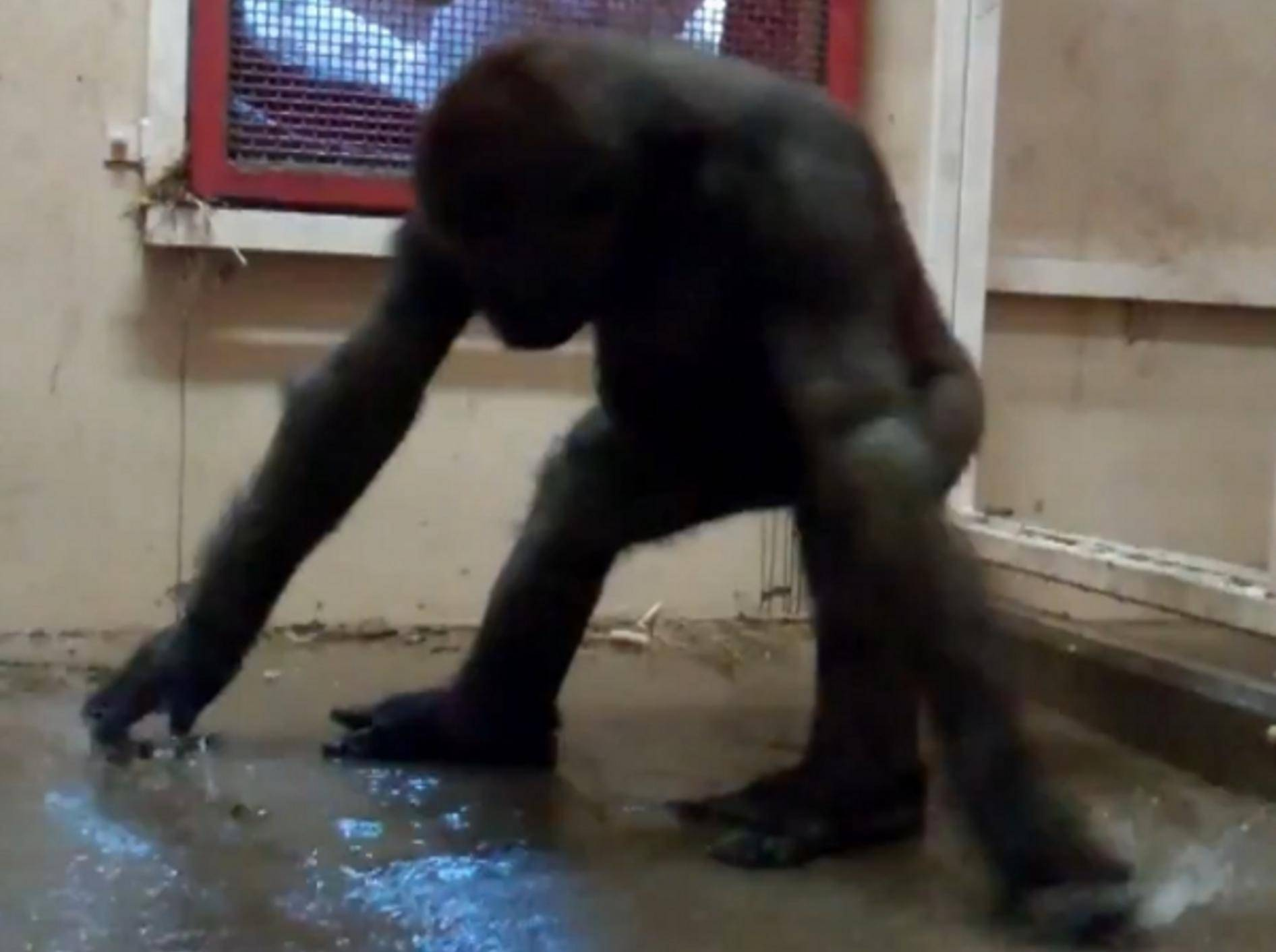 Gorilla tanzt für guten Zweck