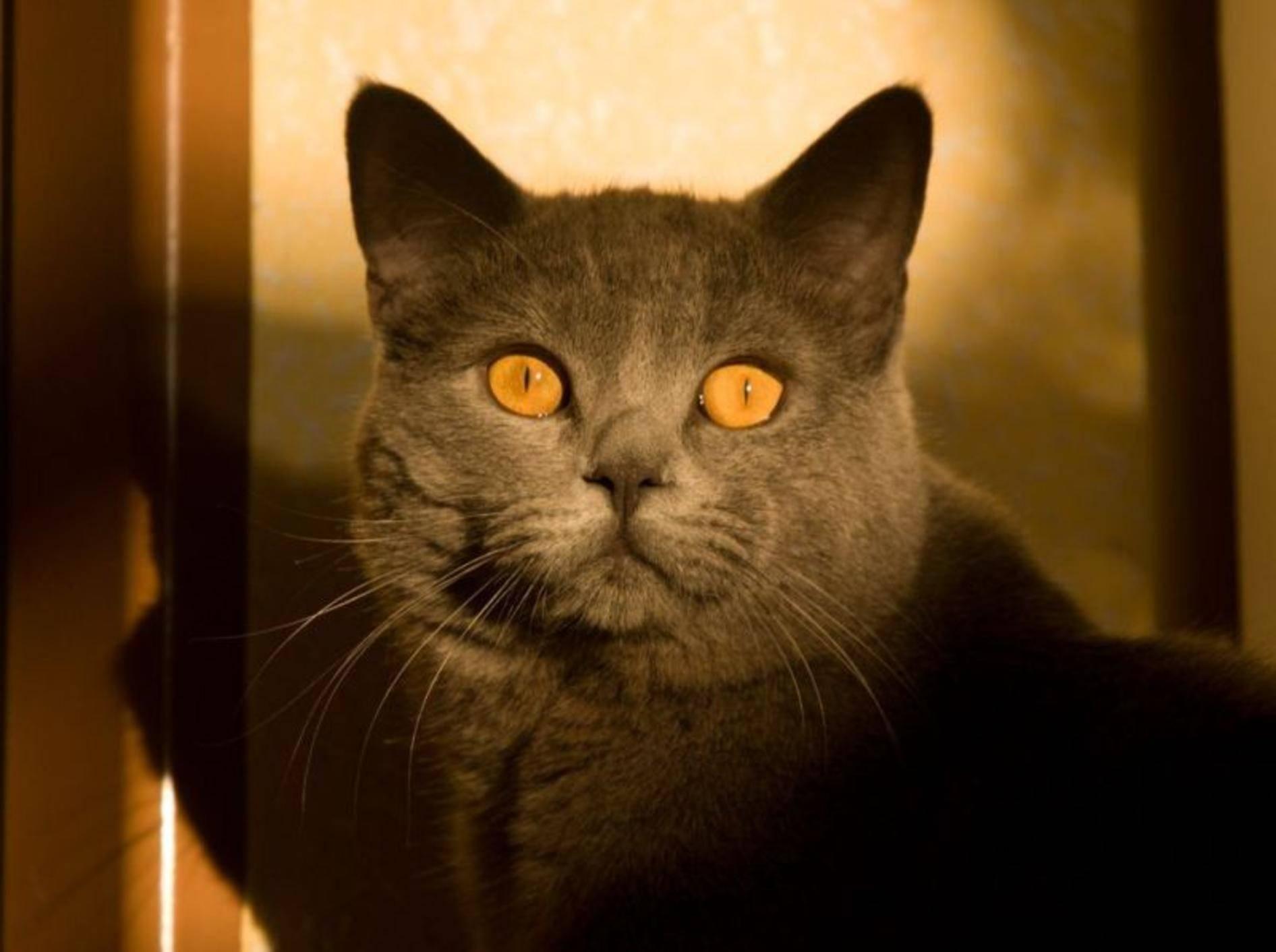 Britisch Kurzhaar Katze Sonne