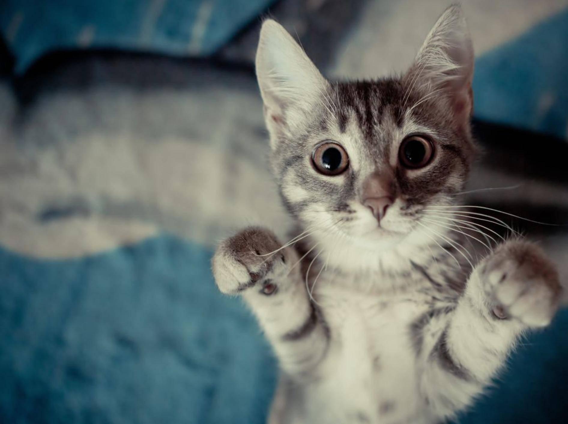Graue-Katze-Springt