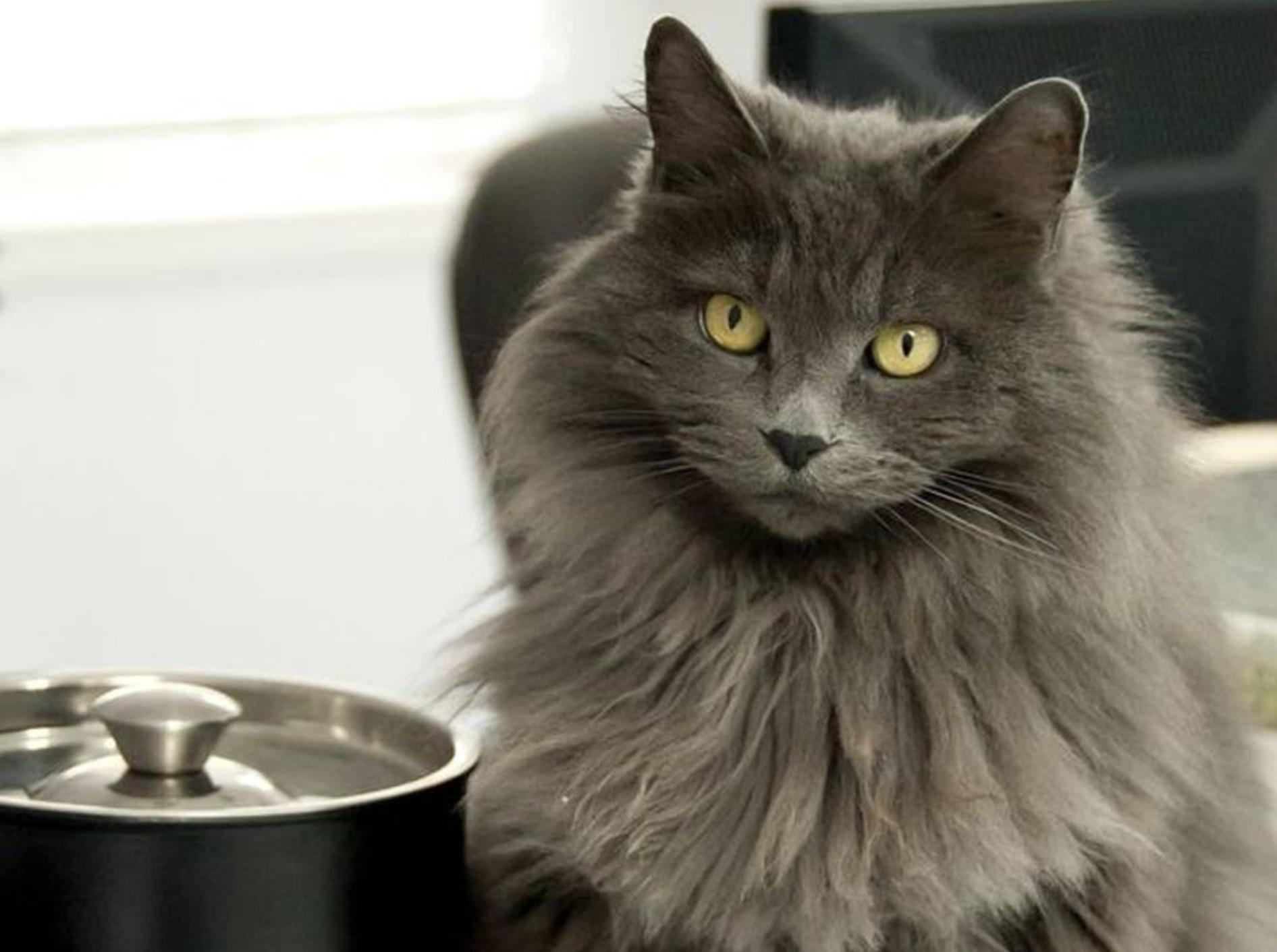 Graue Katze neben Kochtopf