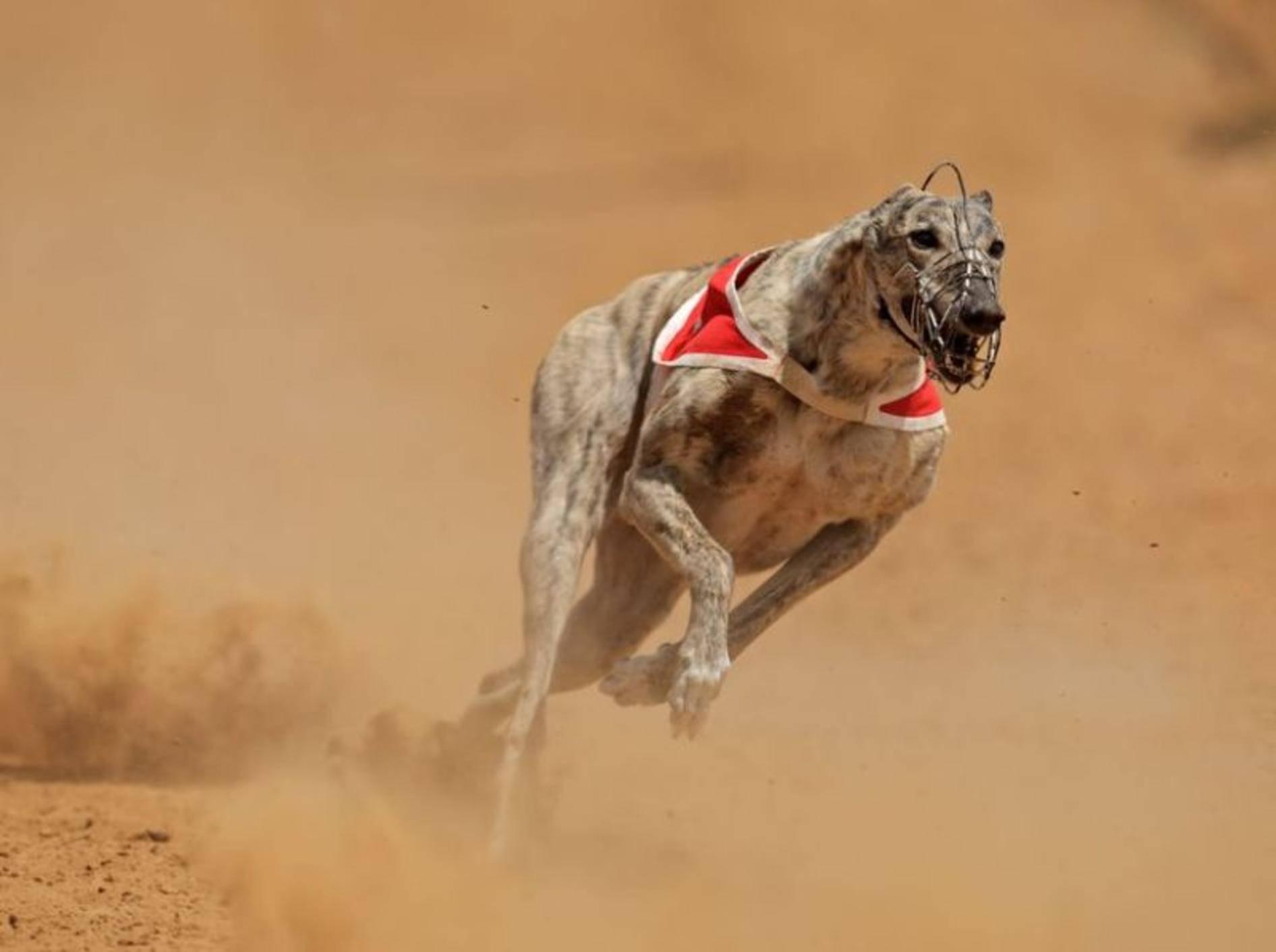 Greyhound: Ist mit annähernd 80 km/h der schnellste Hund der Welt.